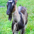 Goat is on a pasture — Stock Photo