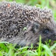 Western European Hedgehog (Erinaceus) in a grass — Stock Photo
