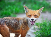 Red Fox Cub in grass. The animal smiles — 图库照片