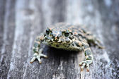 Green frog (Bufo viridis) on an old wooden bench — Stock Photo