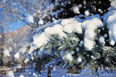 Branch of spruce is with snow close — Stock Photo