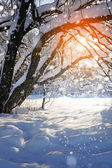 Snow-covered tree at sunset — Stock Photo