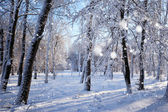 Winter forest in a frosty sunny day — Stock Photo