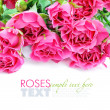 Pink roses isolated on white background — Stock Photo