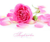 Pink rose and petals on a white background — Stock Photo