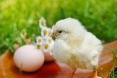 Little chicken and egg on the grass — Stockfoto