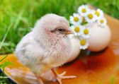 Little chicken and egg on the grass — Stok fotoğraf