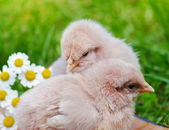 Little chicken and egg on the grass — Stock Photo