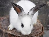 面白い赤ちゃん白ウサギ — ストック写真