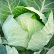 Close-up of fresh cabbage in the vegetable garden — Stock Photo #46607595
