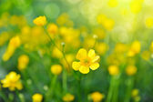 Buttercups yellow flowers on the green meadow — Stock Photo