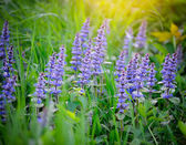 Spring meadow (Ajuga reptans), natural background — Stock Photo