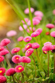 Beautiful marguerite flowers, outdoors — Stock Photo