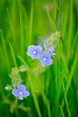 Veronica chamaedrys (Germander Speedwell) — Foto de Stock