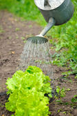 Watering of vegetable bed with rows of lettuce — Stock Photo
