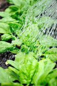 Watering of vegetable bed with rows of spinach — Stock Photo
