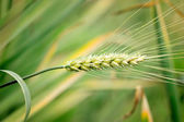 Close-up with wheat ears in field — Stock Photo