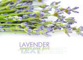 Lavender flowers (Lavandula) on a white background — Stock Photo