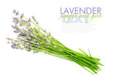 Lavender flowers (Lavandula) on a white background — Stock Photo