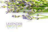 Lavendel blumen (lavandula) auf weißem grund — Stockfoto