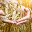 Woman hands with ear of wheat. Close-up — Stock Photo #50850887