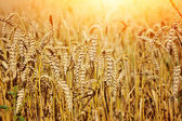 Field of wheat on a hot sunny day — Stock Photo
