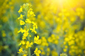 Close-up of canola or rapeseed blossom (Brassica napus) — Stock Photo