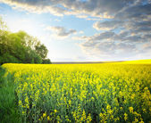 Field of rapeseed with beautiful clouds - plant for green energy — Stock Photo