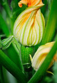 Yellow zucchini flower and green leaves — Stock Photo