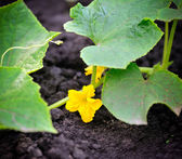 Cucumber flower growing on a bed — Stock Photo