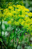 Dill growing in home garden — Stock Photo
