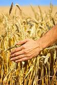 Farmer in field touching his wheat ears — Stock Photo