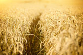 Meadow of wheat on a hot sunny day — Stock Photo