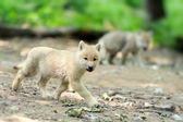 Wolf pup — Stock Photo