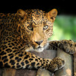 Leopard — Stock Photo #12659521