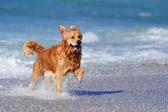 Jovem retriever dourado correndo na praia — Foto Stock
