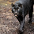 Black leopard — Stockfoto