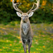 Beautiful image of red deer - Stock Photo
