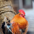 Beautiful Rooster - Stock Photo
