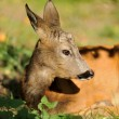 Young deer - Stock Photo