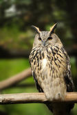 Wild owl — Stock Photo