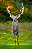 Beautiful image of red deer — Stock Photo