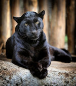 Leopardo nero — Foto Stock