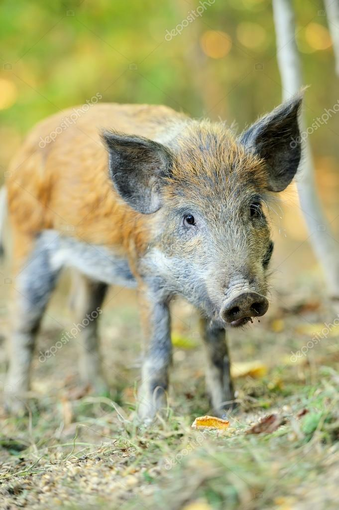 Yound wild boar in autumn forest — Stock Photo #13662401