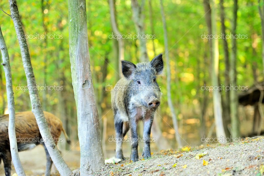 Yound wild boar in autumn forest — Stock Photo #13662402