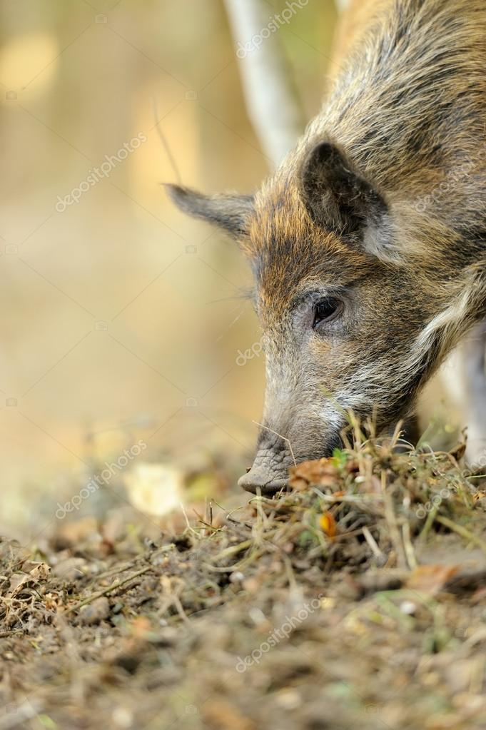 Yound wild boar in autumn forest — Stock Photo #13662404