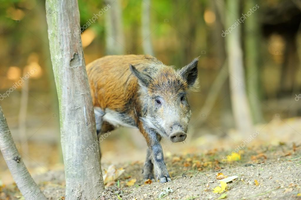Yound wild boar in autumn forest  Stock Photo #13662407