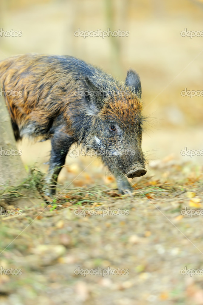 Yound wild boar in autumn forest — Stock Photo #13662408