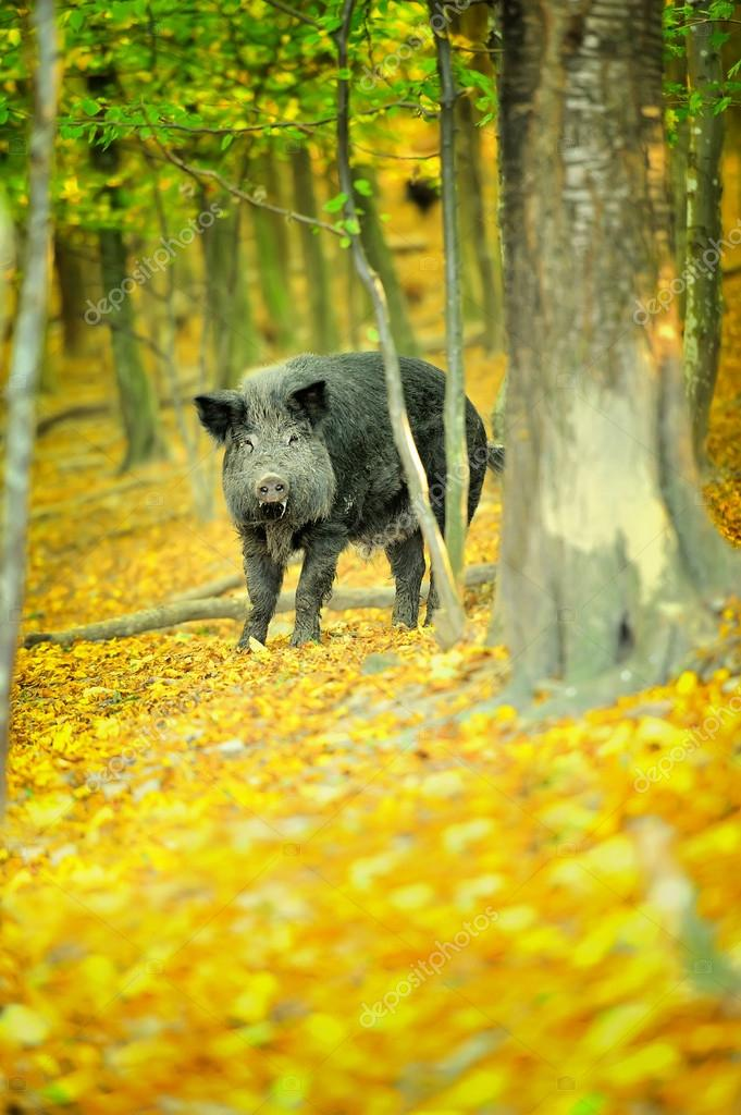 Wild boar in autumn forest — Stock Photo #13662409