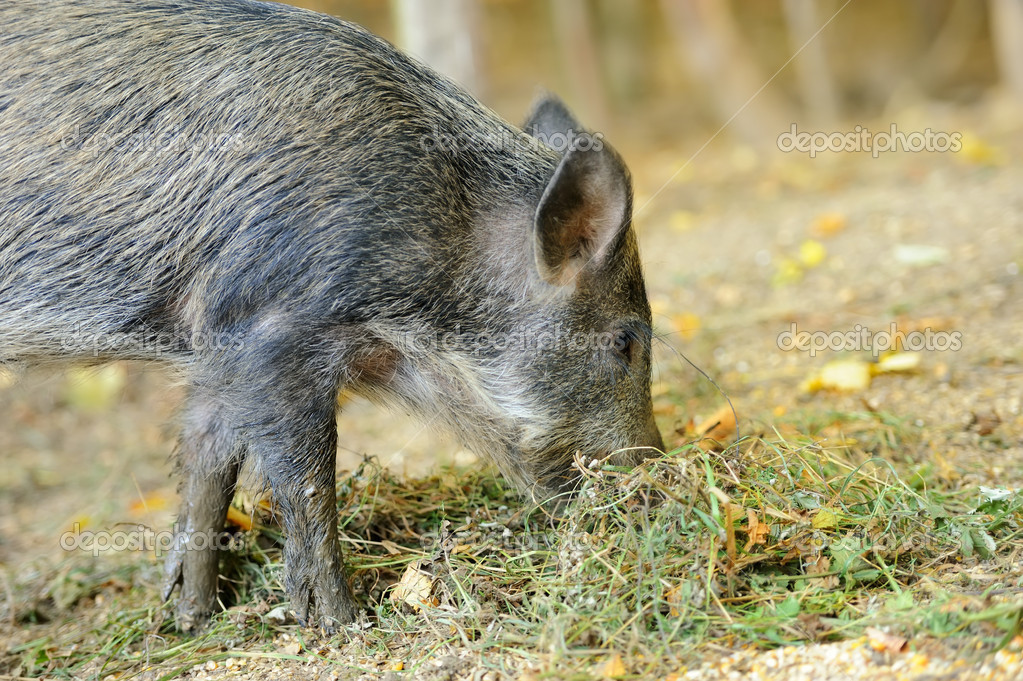 Yound wild boar in autumn forest — Stock Photo #13662410